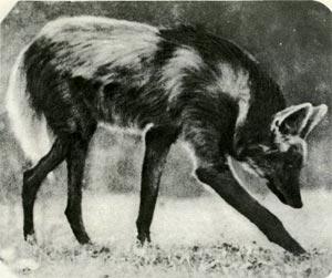 Волки лисы и собаки особого рода