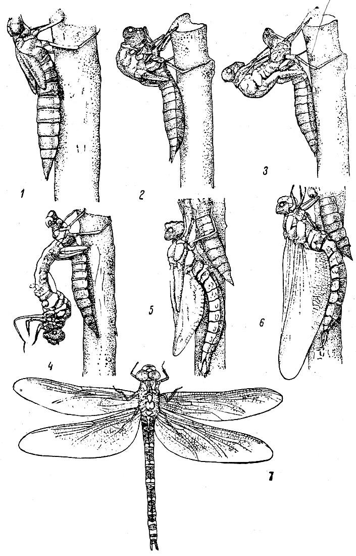 Таблица X. Вылет стрекозы