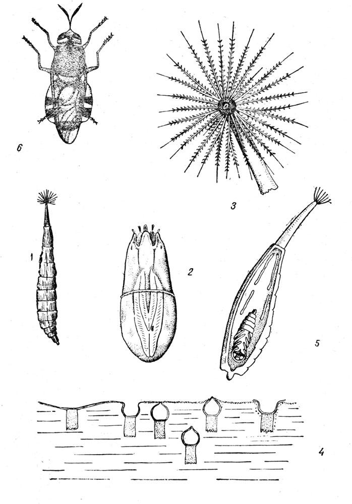 Муха львинка - Stratiomyia