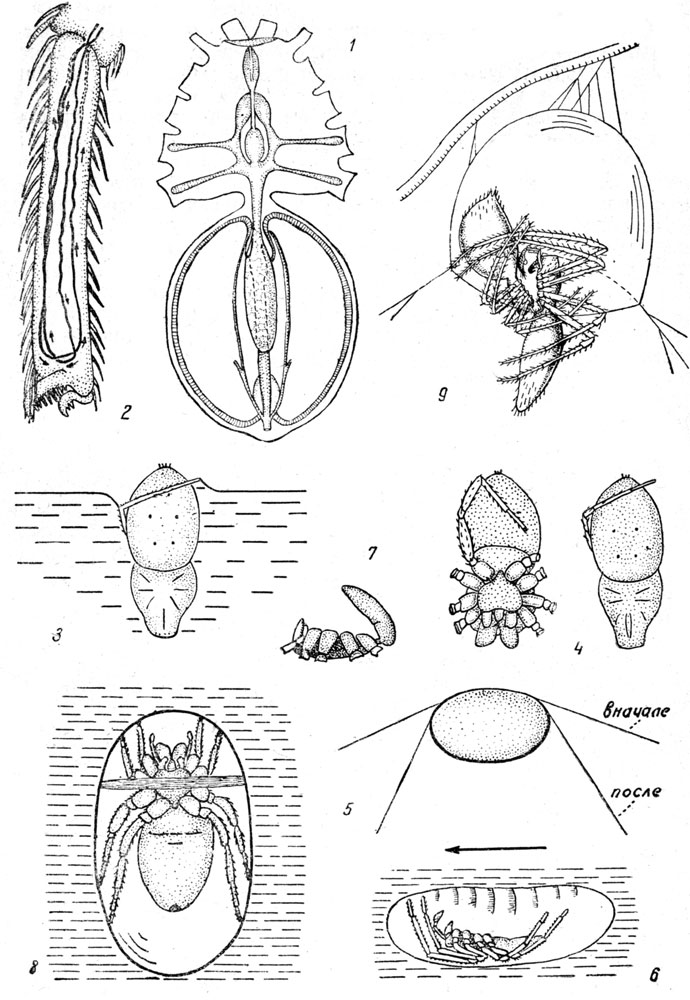 Водяной паук-серебрянка