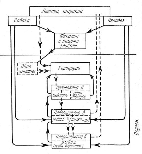 Пути жизненного цикла лентеца