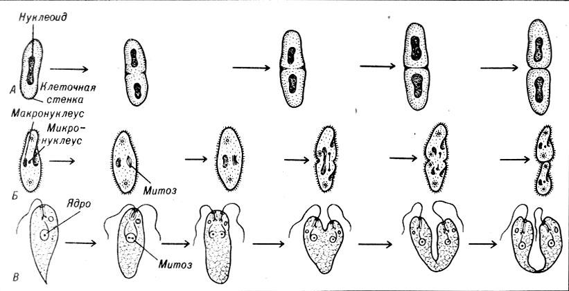 Бесполое размножение [1981 Ал.