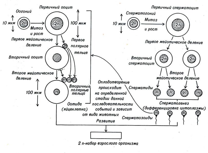 kakie-hromosomi-neset-spermatozoid
