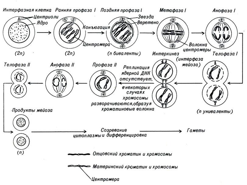 Цитокинез фото