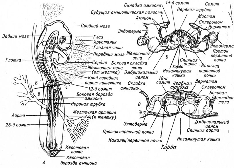 Хорда Эмбриона фото