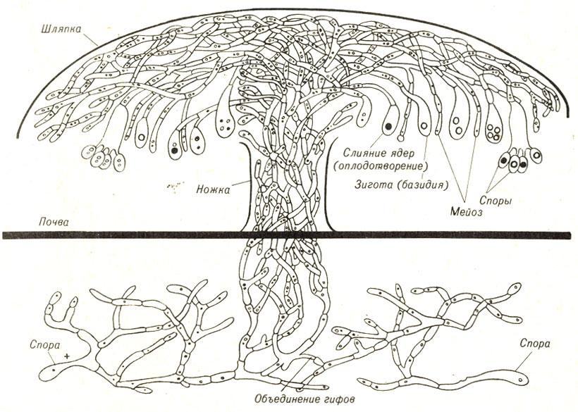 Жизненный цинл типичного гриба