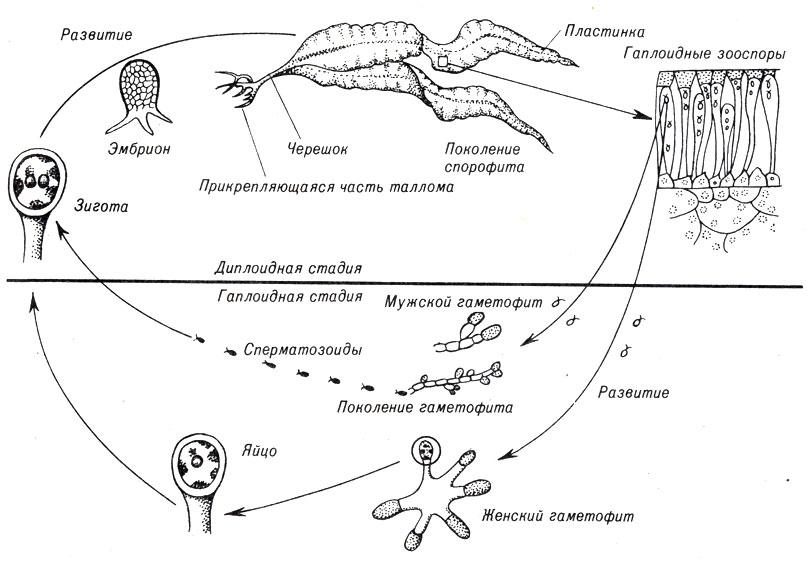 8. Грибы и высшие водоросли