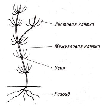 Схема строения харовой