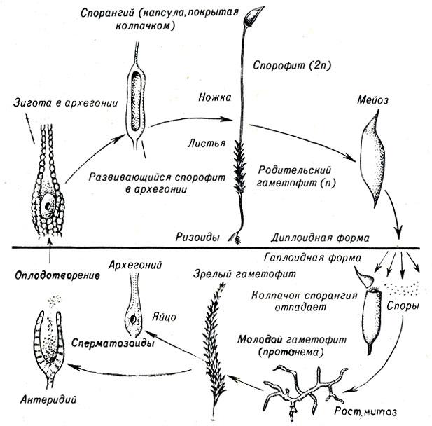 Рис. 9-1.  Жизненный цикл мха Polytrichum (тип Bryophyta) .