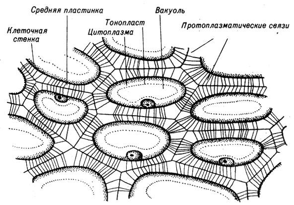 Схема клеток в питательной