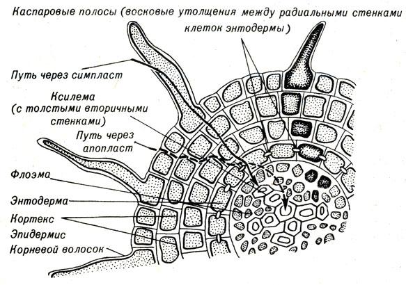 Схема корня, показывающая