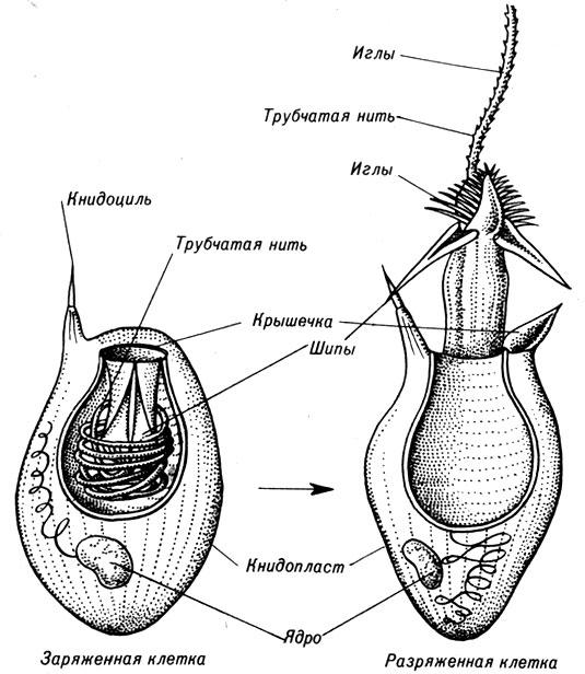 клетки гидры, заряженный и