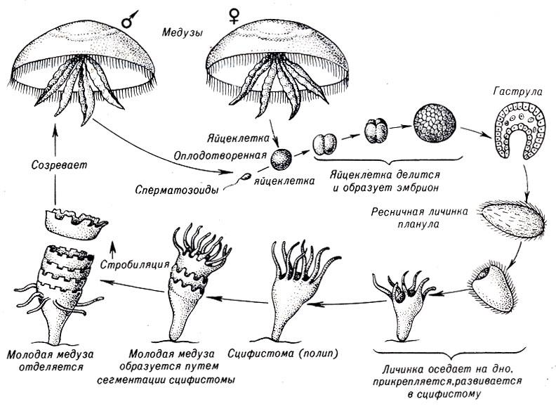 Жизненный цикл сцифоидной