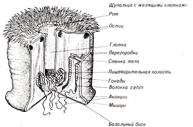Строение Metridium