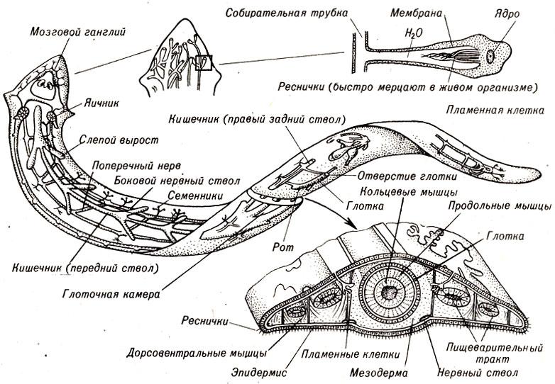 Анатомия планарии