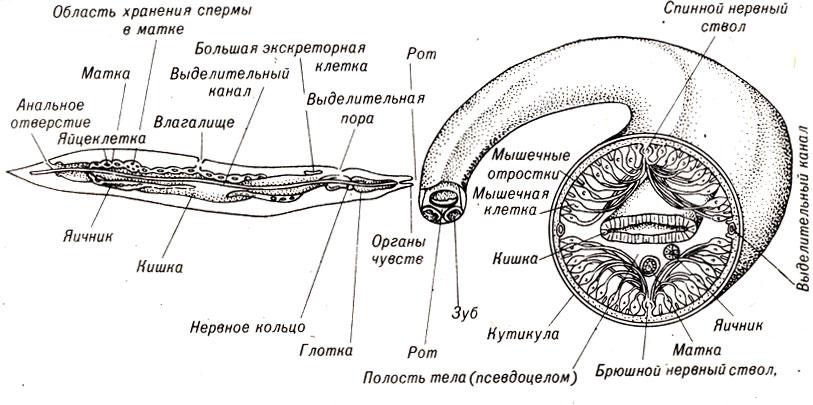 типичного круглого червя