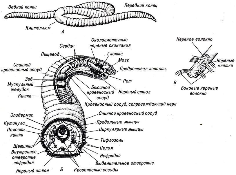Морские кольчатые черви (Annelida) и их особенности | 603x814