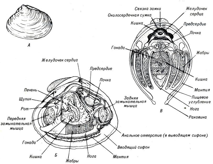 Анатомия двустворчатого