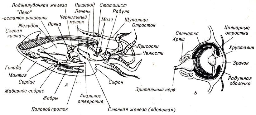 А. Схема строения кальмара.