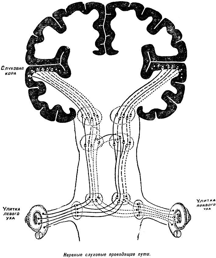 Нервные слуховые проводящие
