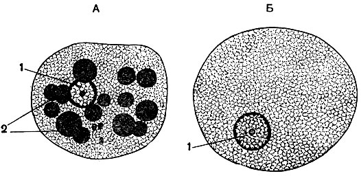 Дизентерийная амеба (Entamoeba