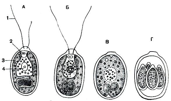 Хламидомонада Chlamydomonas