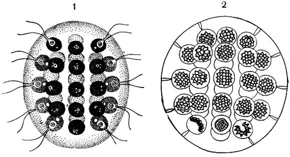 2 - бесполое размножение