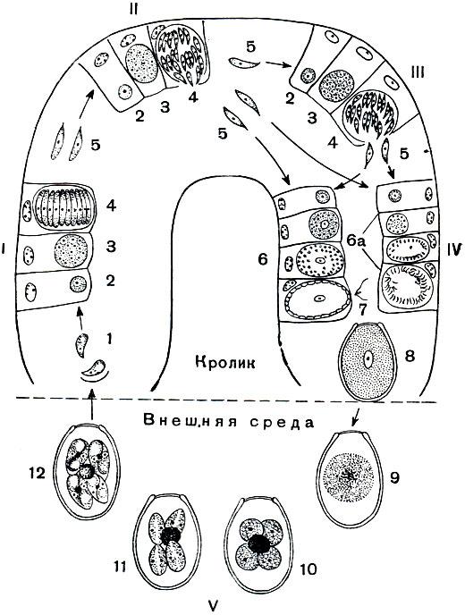 Цикл развития кокцидий Eimeria