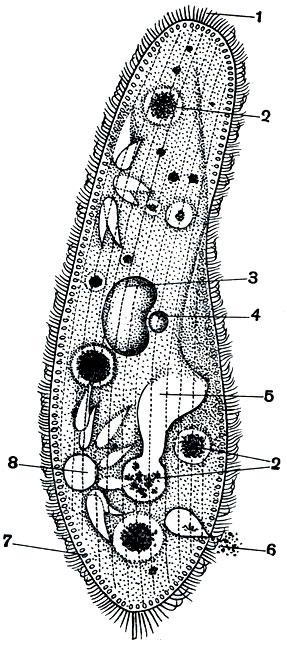 Инфузория туфелька (Paramecium