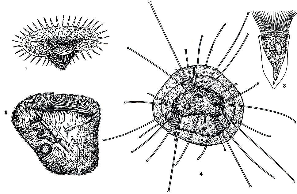 Планктонные инфузории: 1