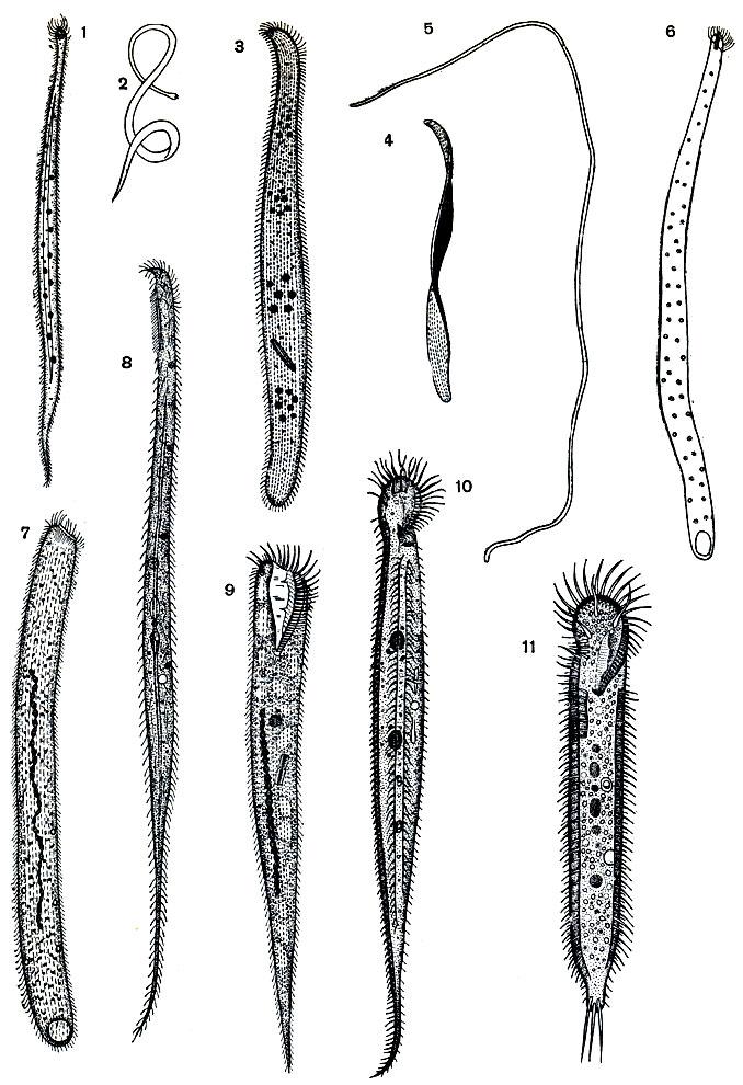 Разные виды морских инфузорий,