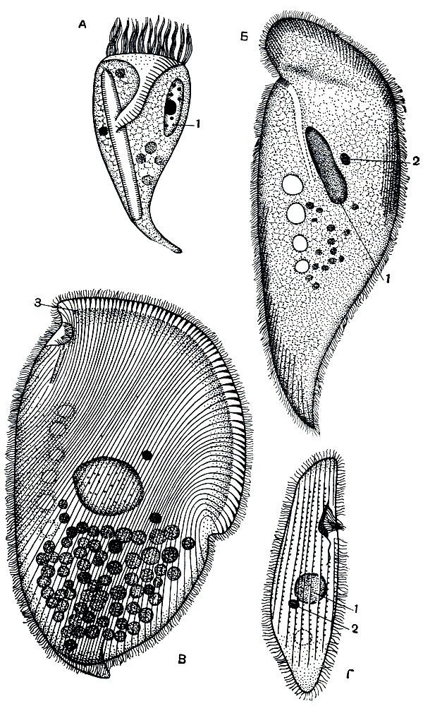 Инфузории, живущие в кишечнике