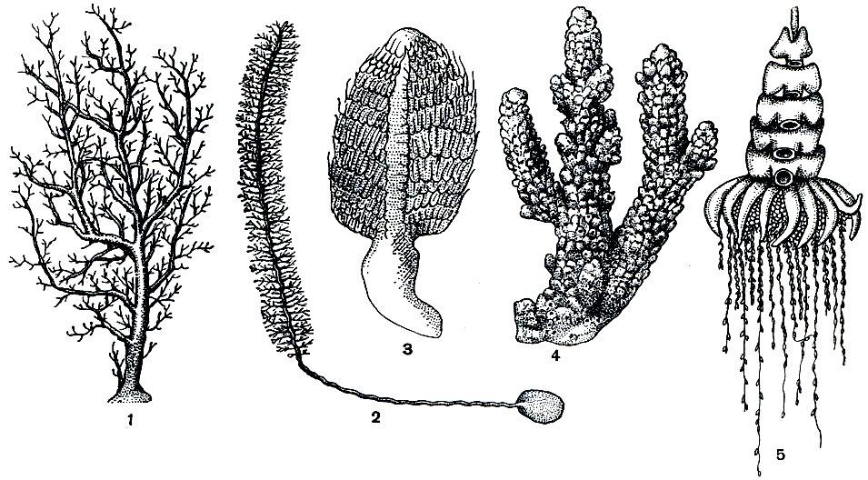 3 - морское перо пеннатула