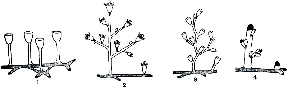 Схема роста и почкования