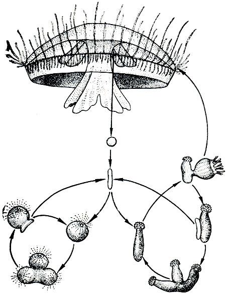 Жизненный цикл краспедакусты