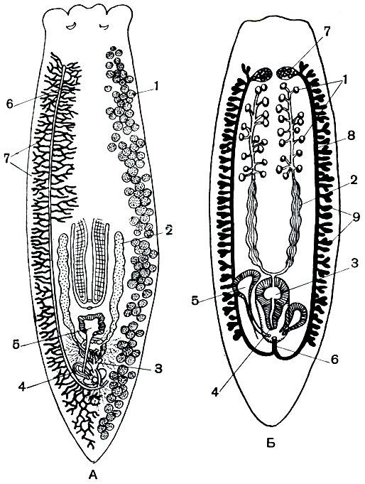молочной планарии: 1