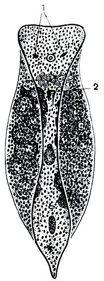 Рис. 194. Планария Convoluta convoluta: 1 - глазки; 2 - ротовое отверстие