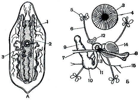 Рис. 195. Mesostoma ehrenbergii: А - общий вид; Б - половая система. 1 - каналы экскреторной системы; 2 - кишечник; 3 - ротовое отверстие; 4 - глотка; 5 - желточник; 6 - желточный проток; 7 - проток матки; 8 - матка; 9 - яичник; 10 - семяприемник; 11 - общий проток; 12 - совокупительная сумка; 13 - половое отверстие; 14 - совокупительный орган; 15 - семяпроводы