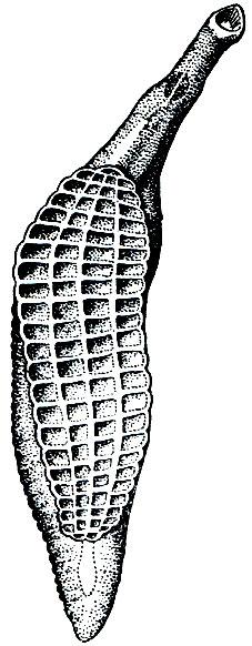 трематода паразит хищных млекопитающих и человека