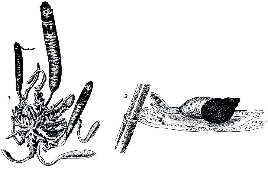 Трематода Ii фото