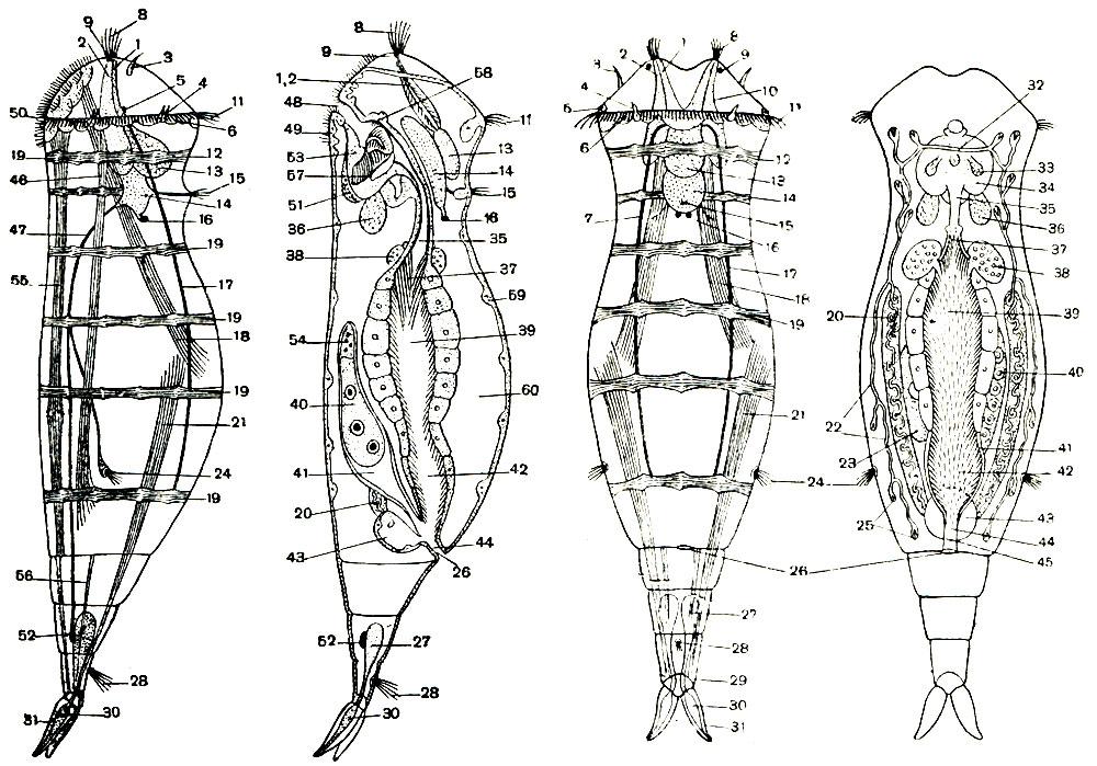 Схема строения коловратки из