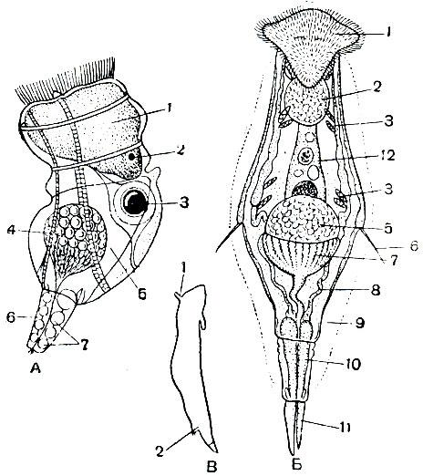 Строение самцов коловраток.