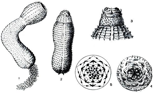 Приапулидовые черви: 1