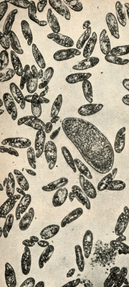 parmecium aurelia The structure of paramecium aurelia genus: paramecium the genus paramecium are unicellular eukaryotes that mainly feed on bacteria and have cilia that cover their bodies  paramecium are common in fresh water environments and are also found in s.