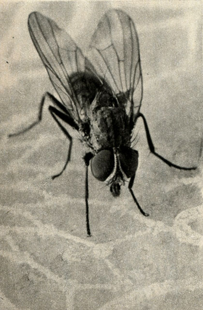 Семейство настоящие мухи muscidae