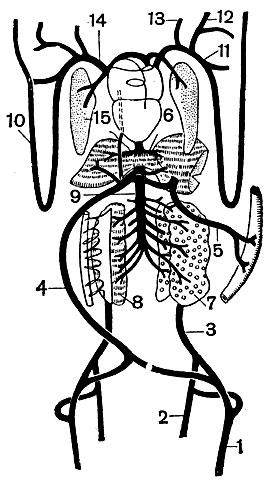Схема венозной системы