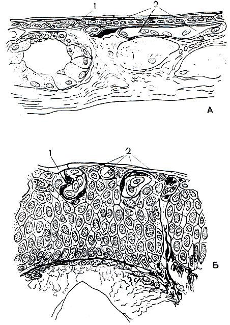 Кожные капилляры земноводных