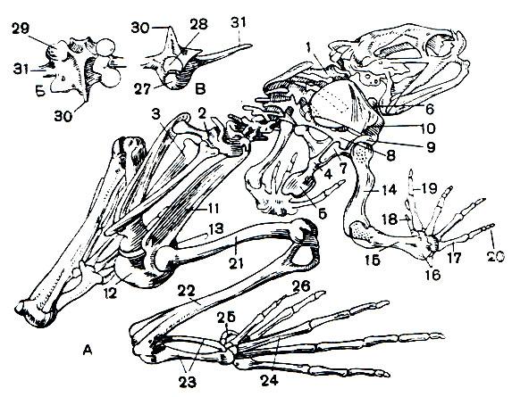 Скелет лягушки: А - целый