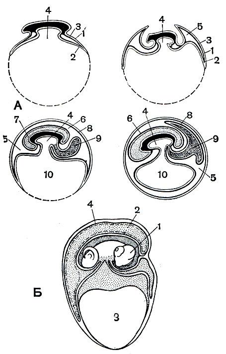 развивающаяся ящерица (Б).