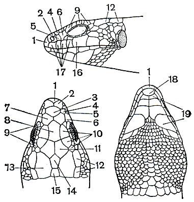Отряд Чешуйчатые (Squamata)